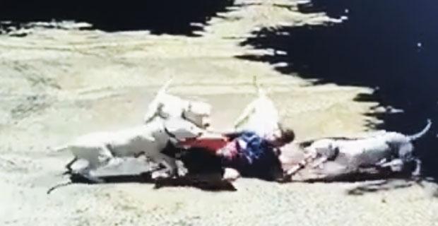 Atak Doga Argentynskiego w agresywnej grupie.